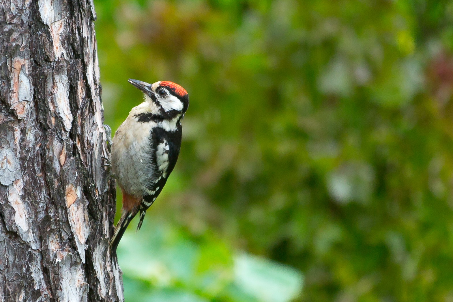 A Great Spotted Woodpecker