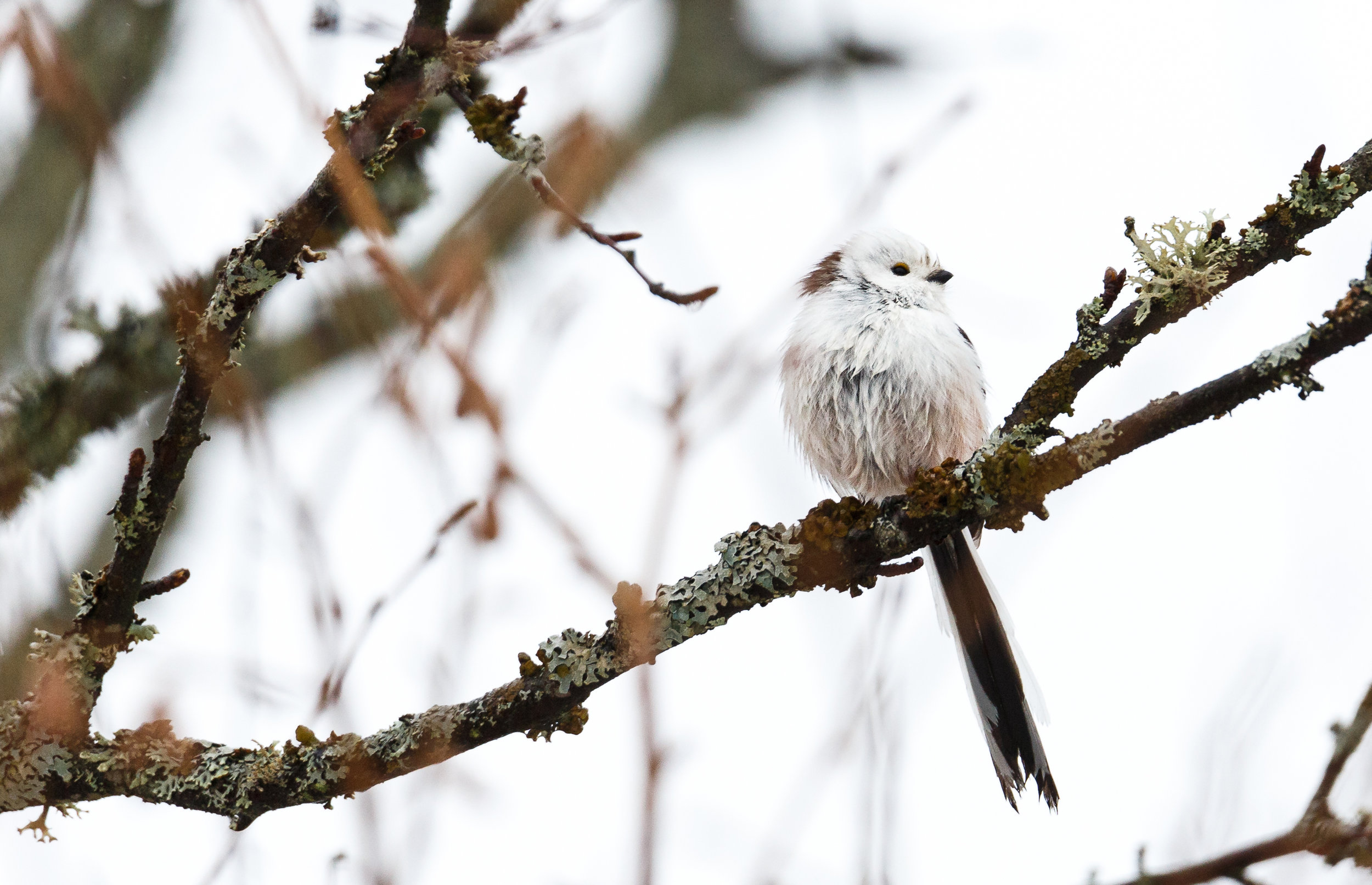 A sodden, but rather chirpy Long-tailed Tit