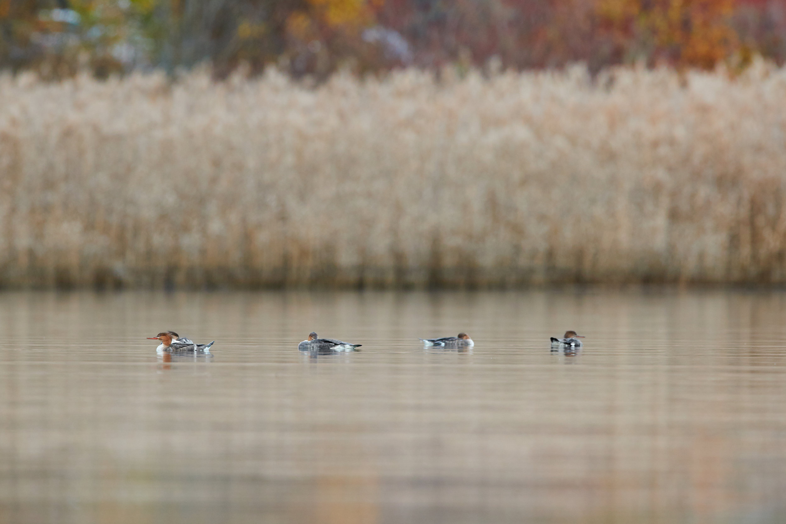A small flock of Red-breasted Mergansers floated rather idly on by, seemingly oblivious to me.