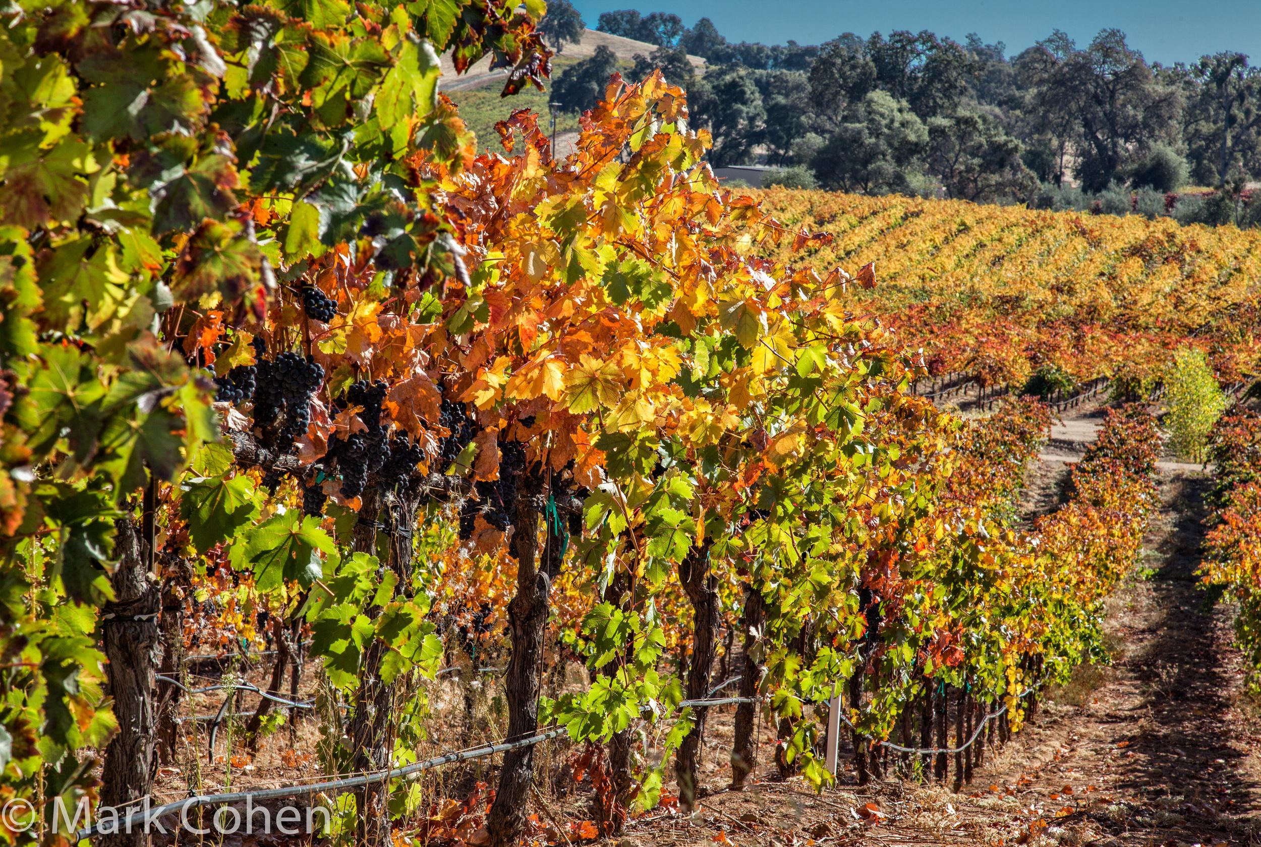 Vineyard no.3, Amador County, 2014