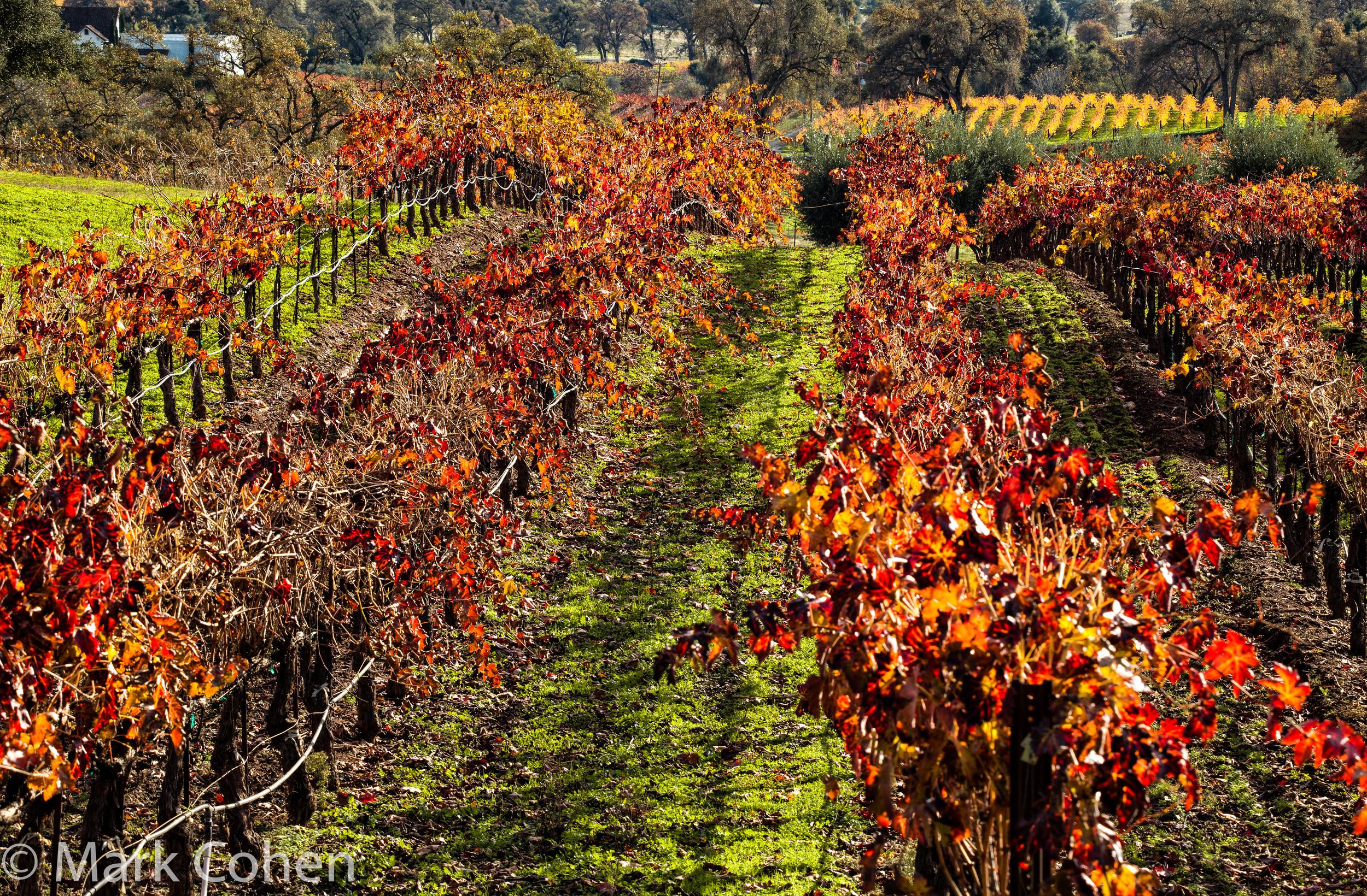 Vineyard no.4, Amador County, 2014