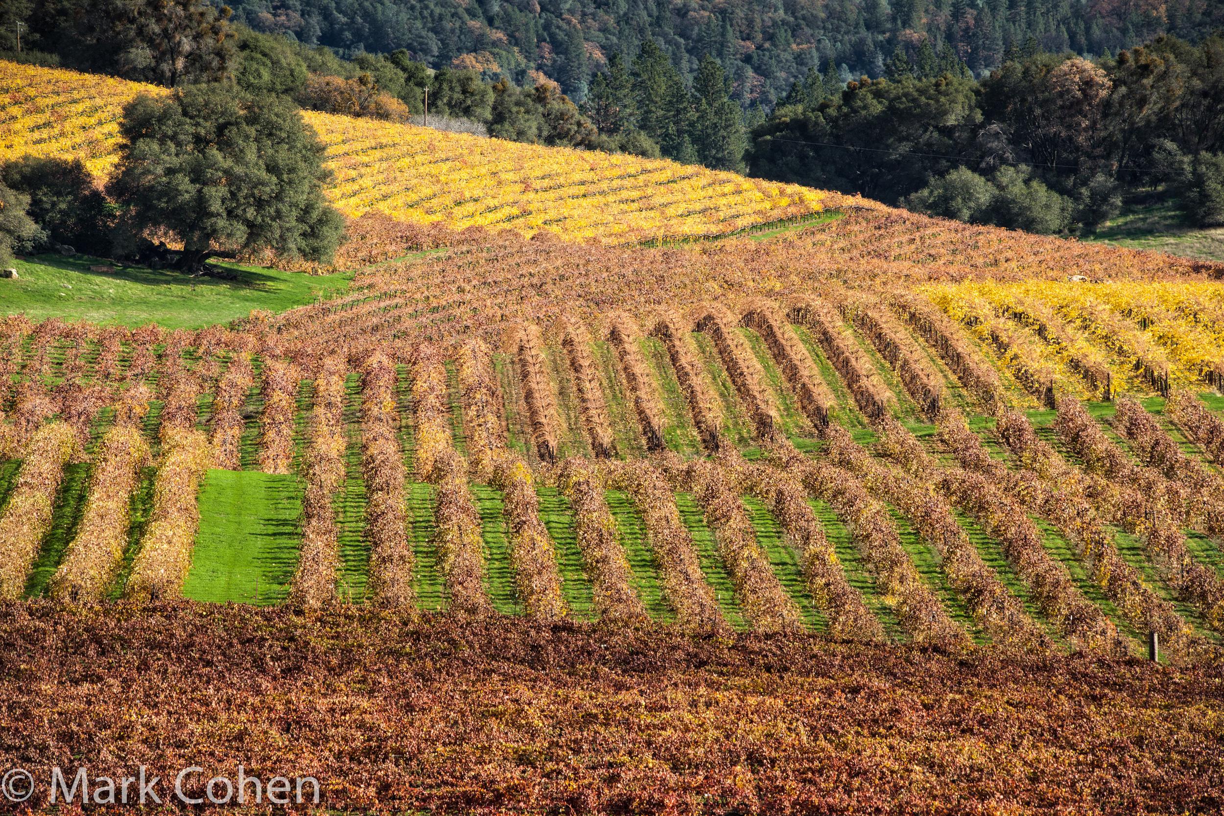 Vineyard no.5, Amador County, 2014