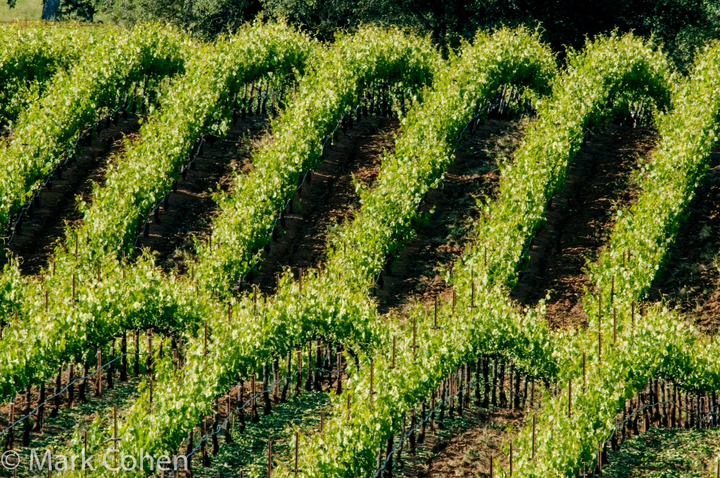 Vineyard no.6, San Joaquin County, 2006