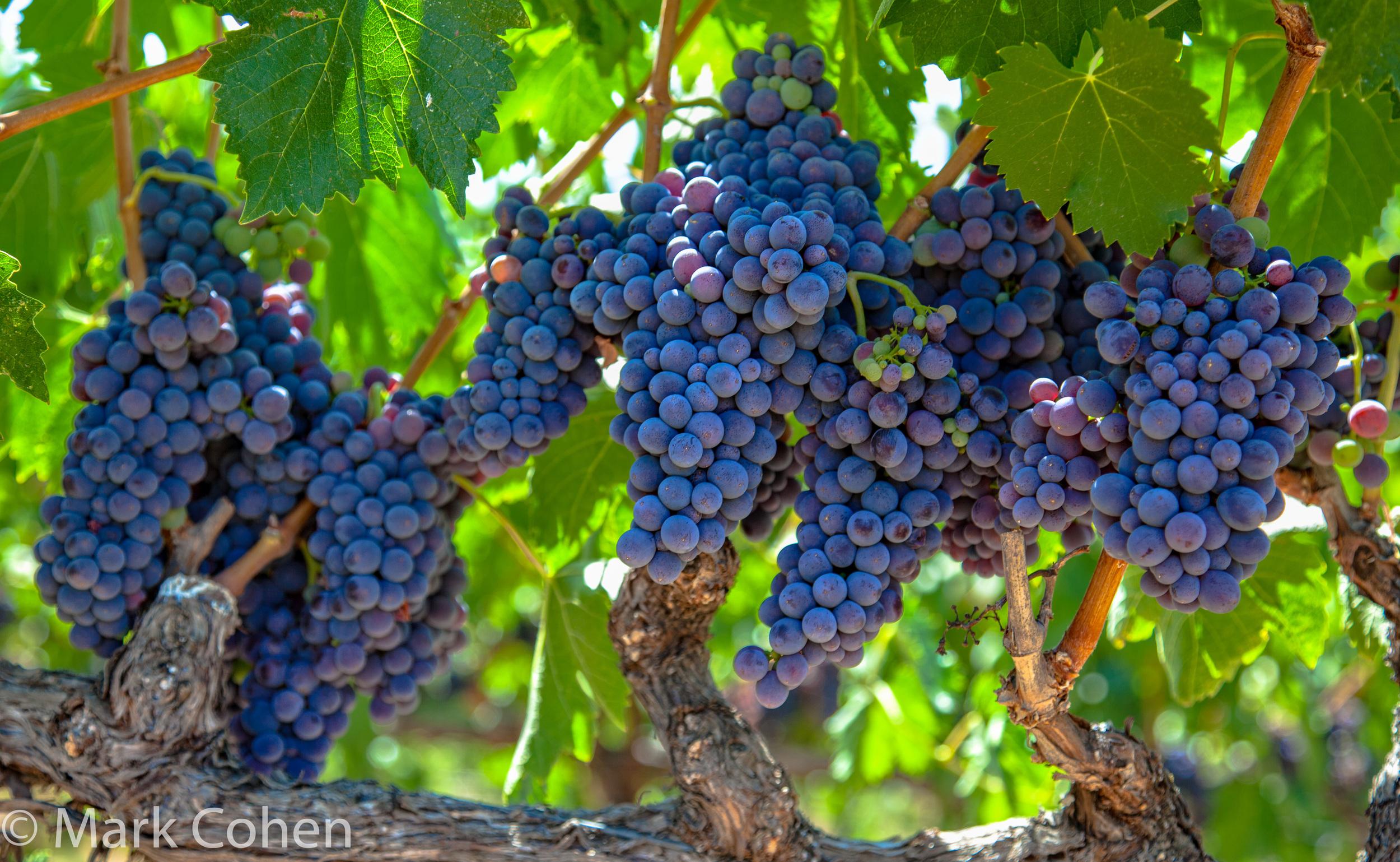 Wine grapes no.1, Amador County, 2015