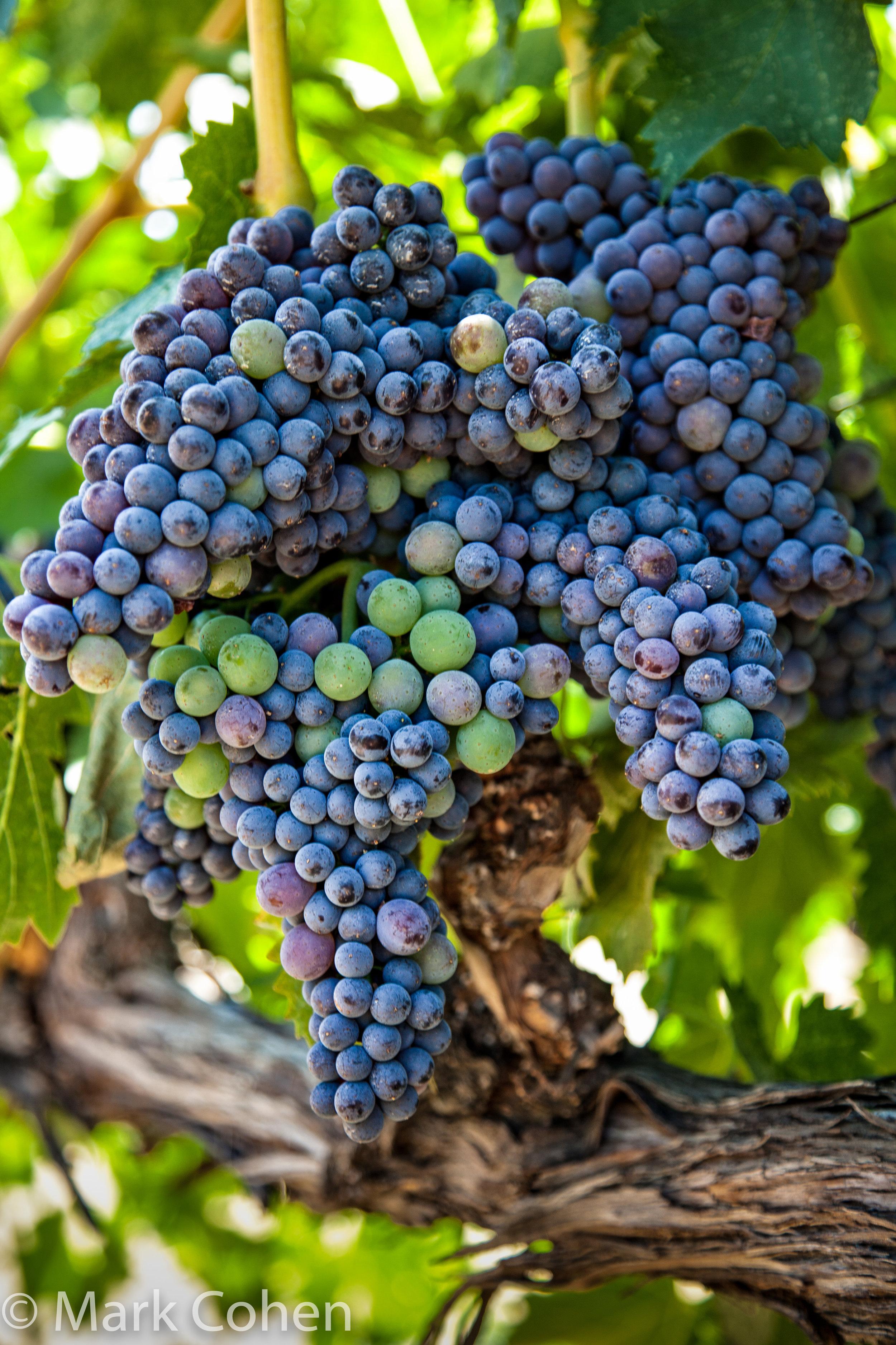 Vineyard no.1, Amador County, 2014-24.jpg