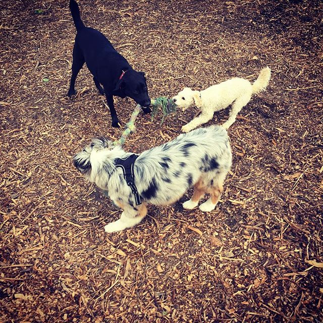 Tug of war x 3 #marindogs #dogsofmarin #marin