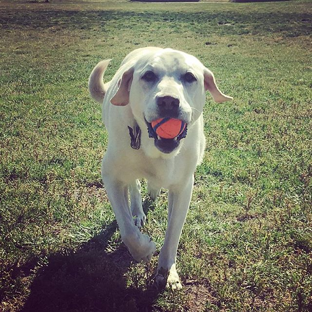 Having a ball #dogs #marindogs #dogsofmarin #labs #balldog