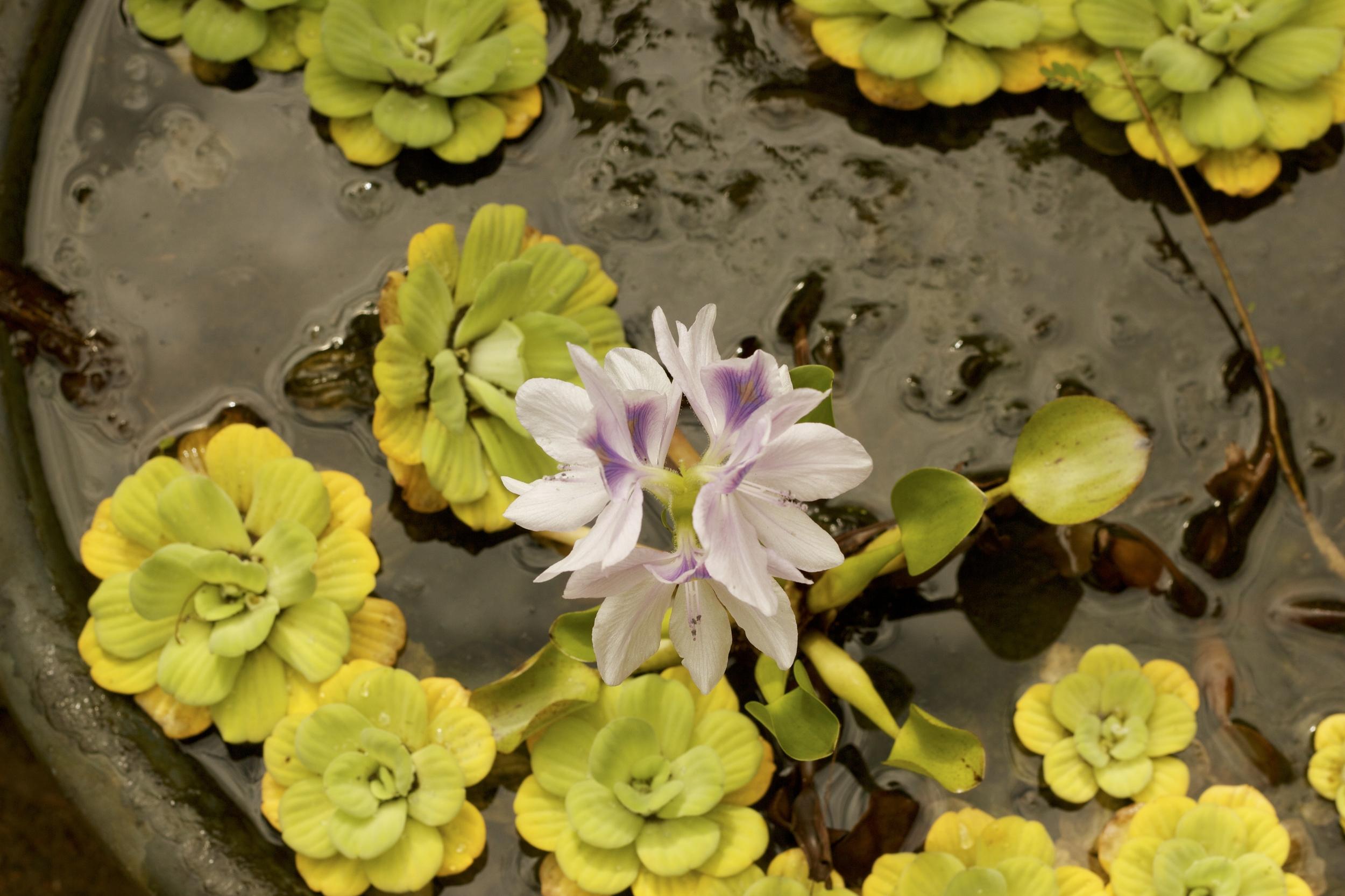 Flor de un día. Quibdó, 2012.