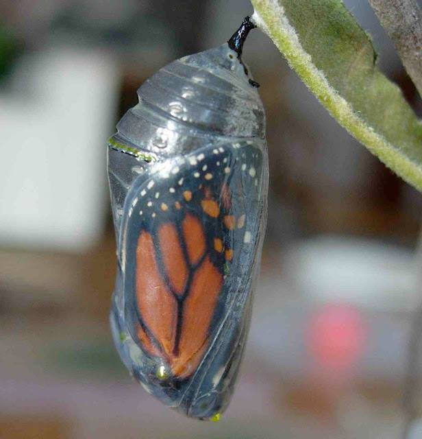"""Did you know that caterpillars are not """"transformed"""" into butterflies? In metamorphosis a caterpillar is liquefied—nothing remains of its old nature. Only after the creature's death can an entirely new creation, a butterfly, emerge!"""