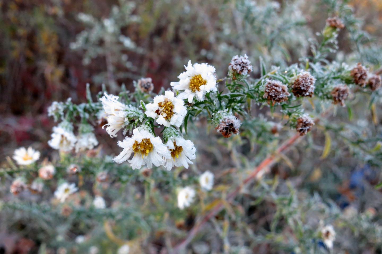 Schmidt_frozen flowers.jpg