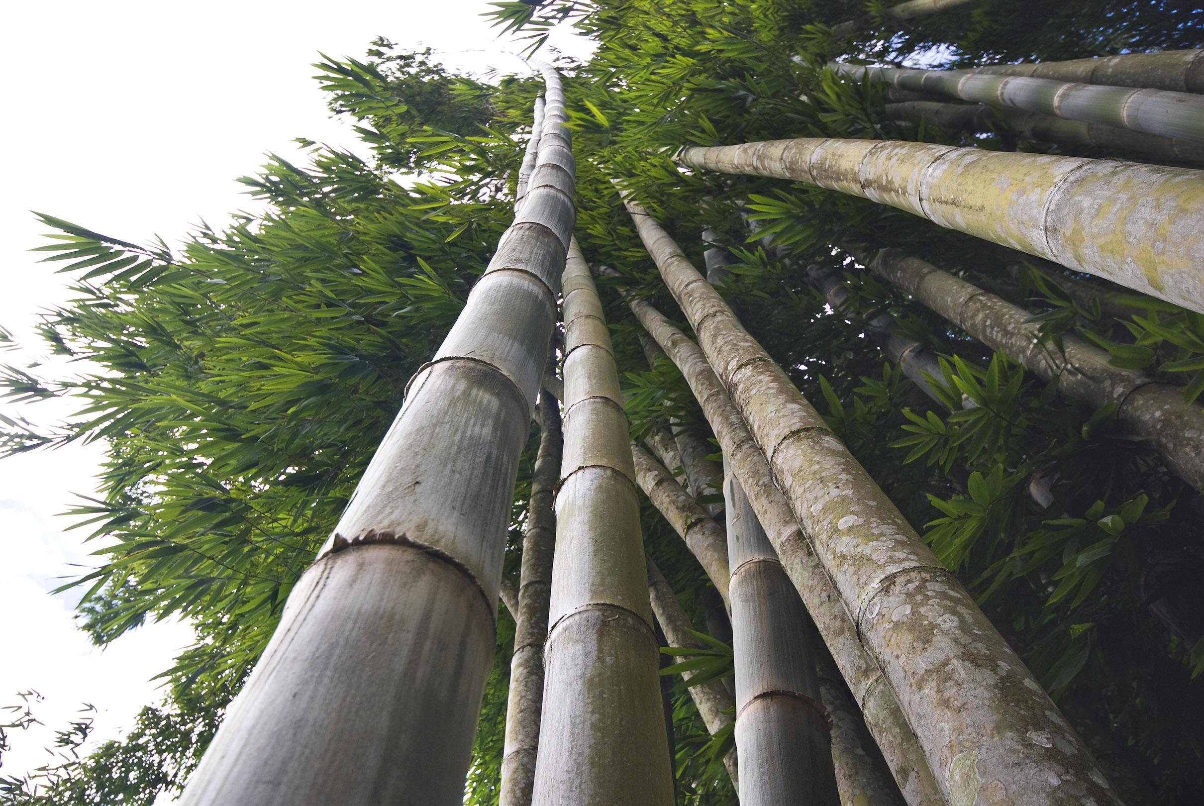 bamboo hacia arriba.jpg