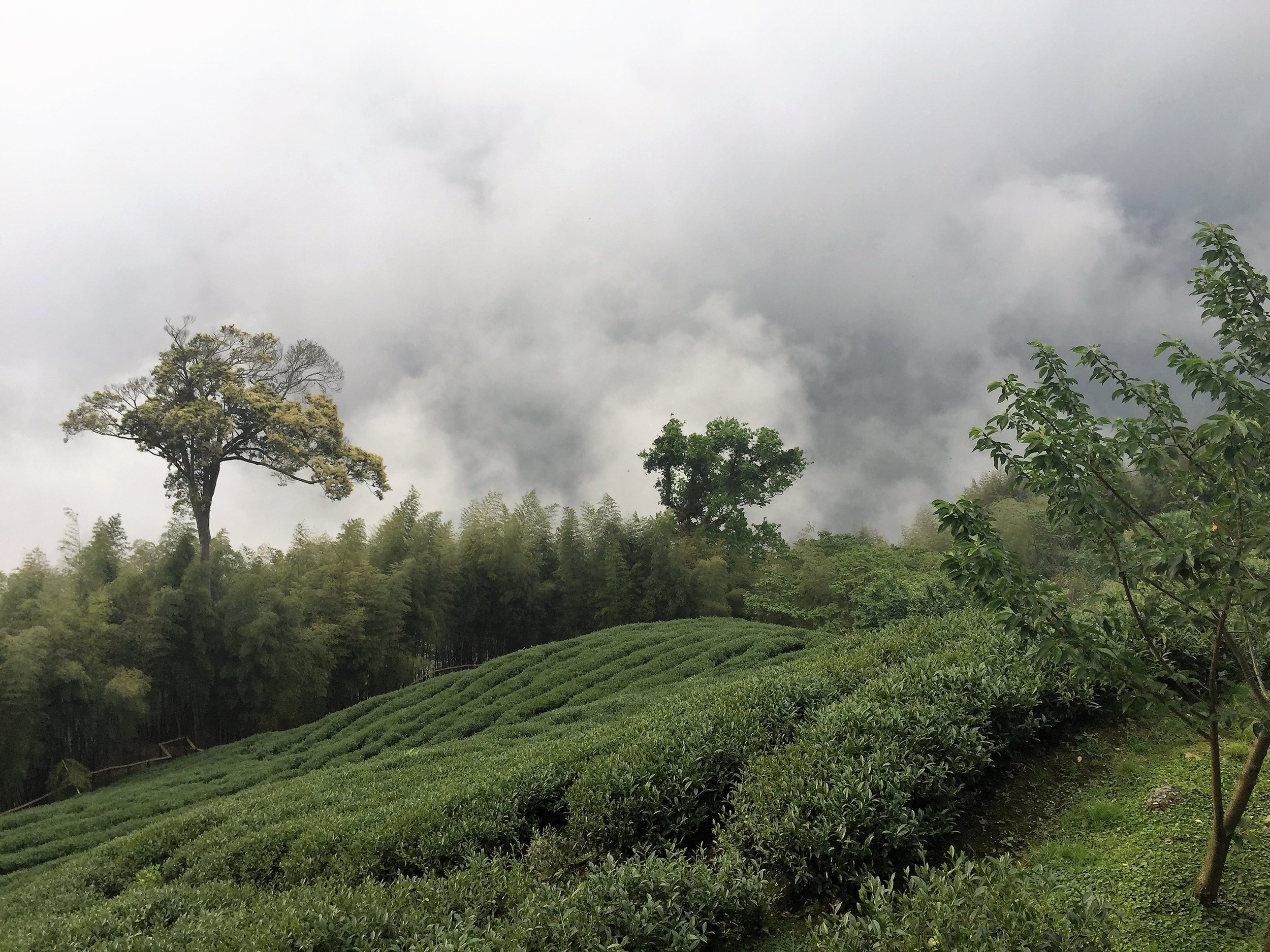A serene tea field on Bamboo Mountain in Taiwan, 2016
