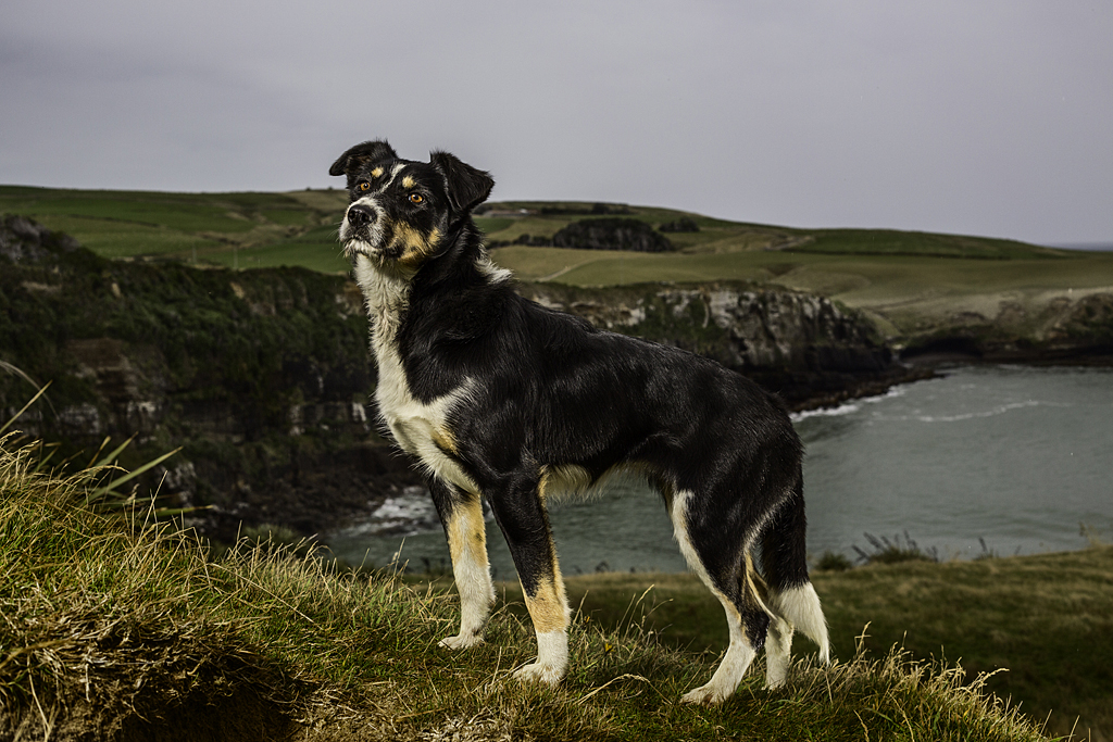 Lass of Slope Point, Heading Dog, 2014