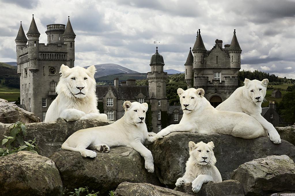 Pride of White Lions, 2011