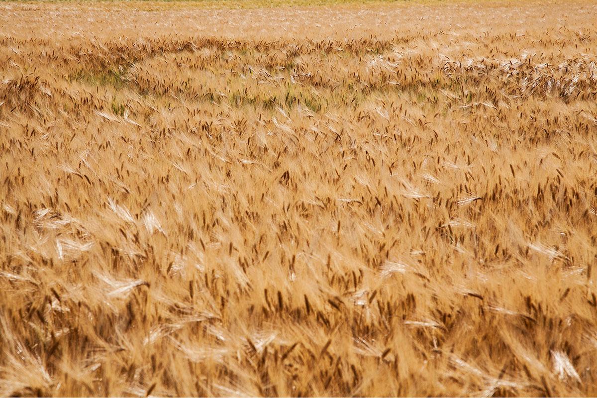 Wheatfield © Barbara Diener