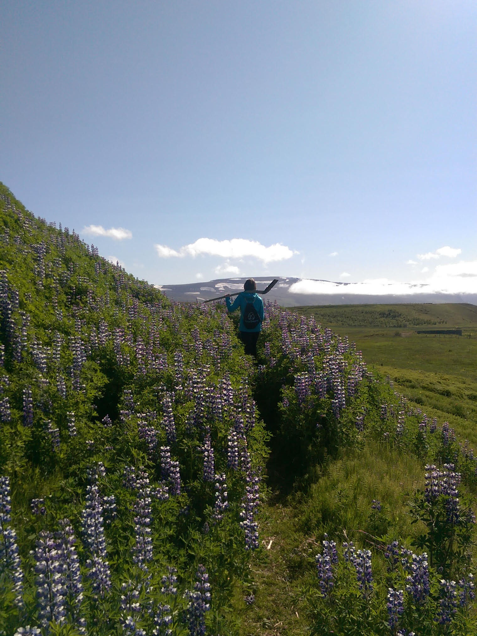 Walking through the Lupine flowers to get to a rhubarb plant