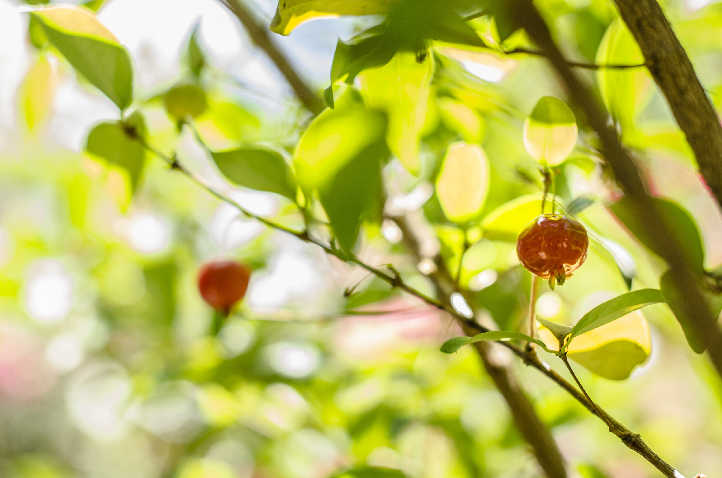 The Pitango fruits
