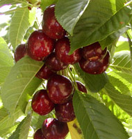 LAPINS   Lapins are a large, firm, dark red crunchy cherry with a delicious flavour.