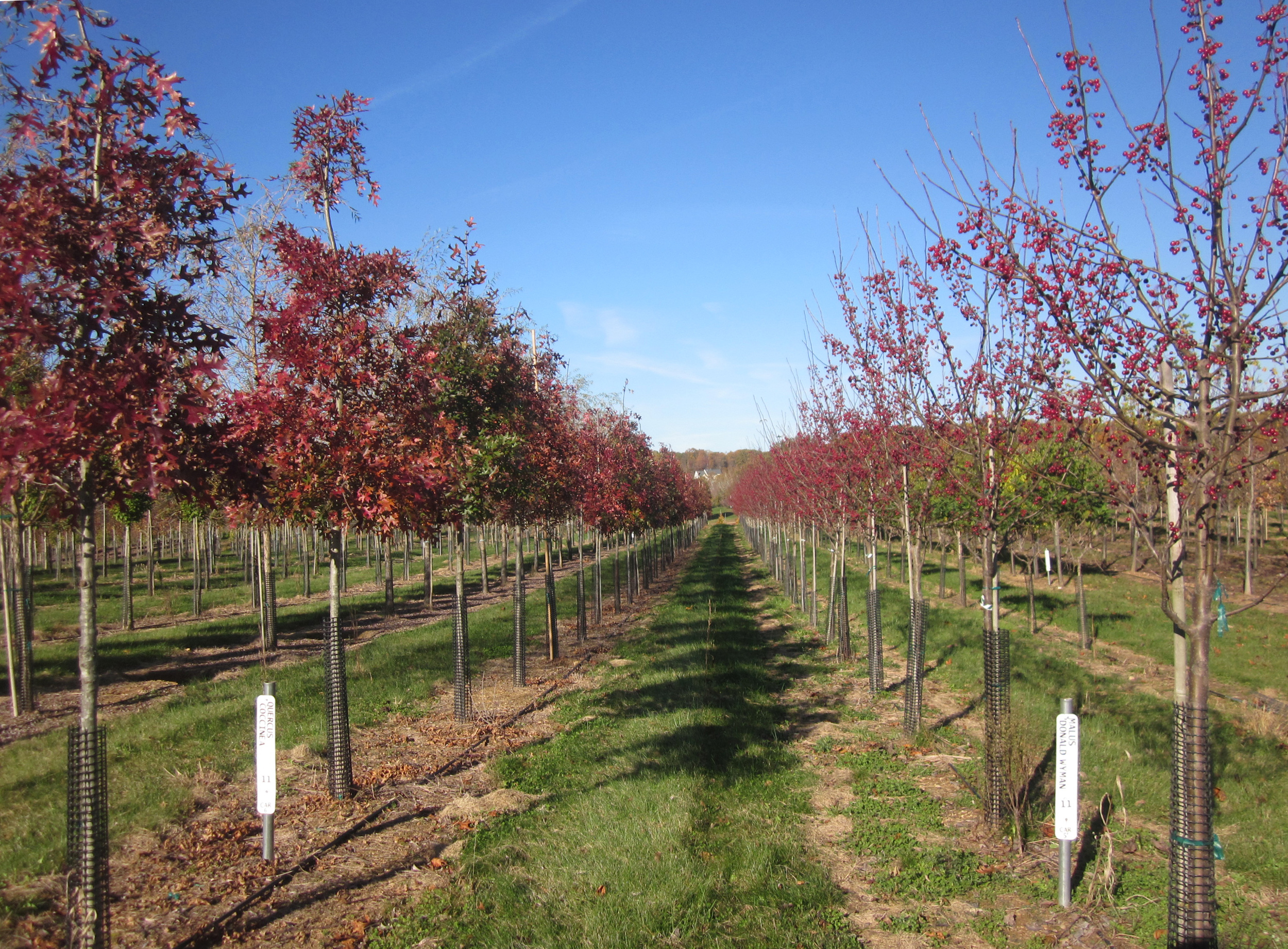 Fall color in the fields—young scarlet oaks and Donald Wyman crabapples.