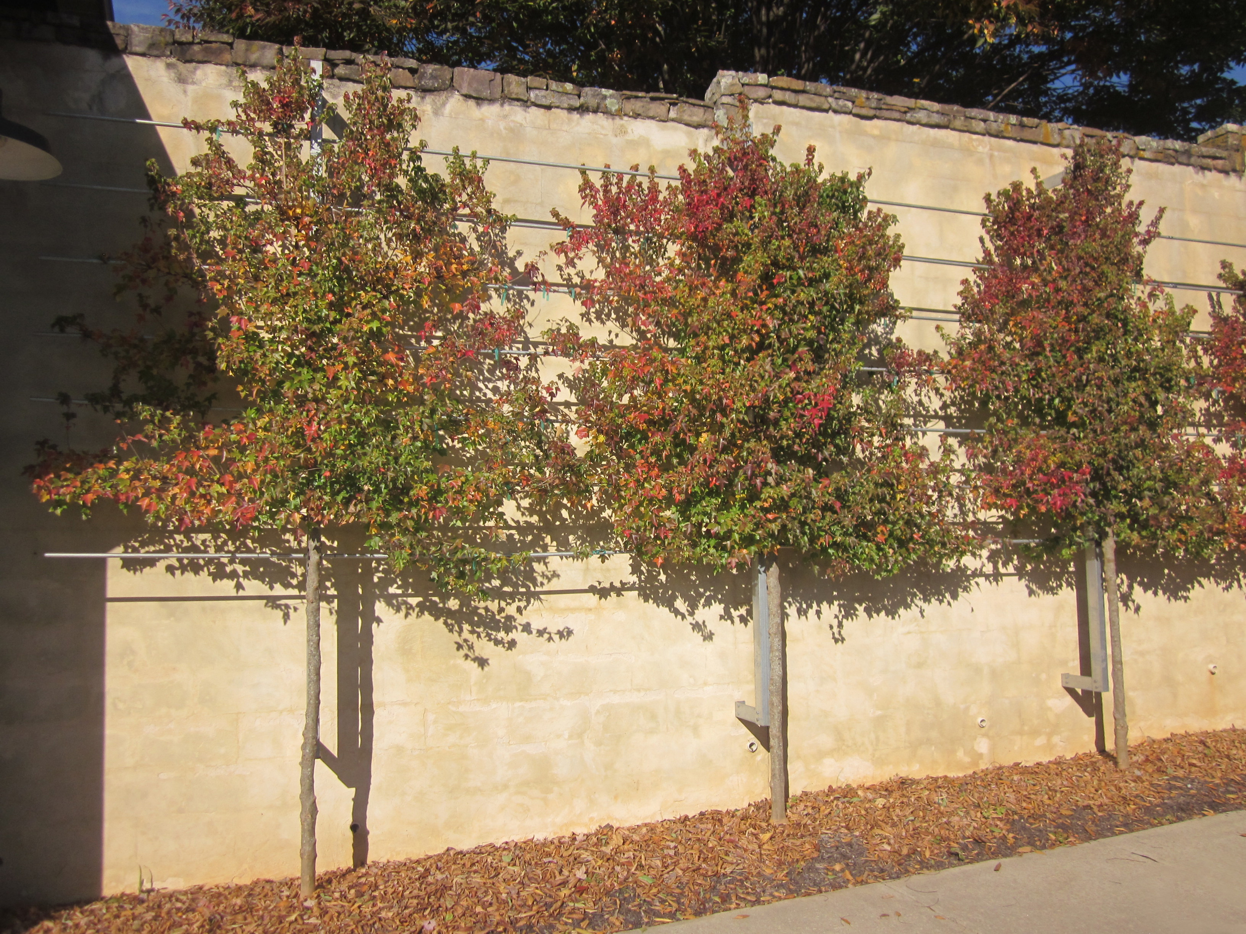 Espaliered trident maples against a sunny wall at the nursery office.
