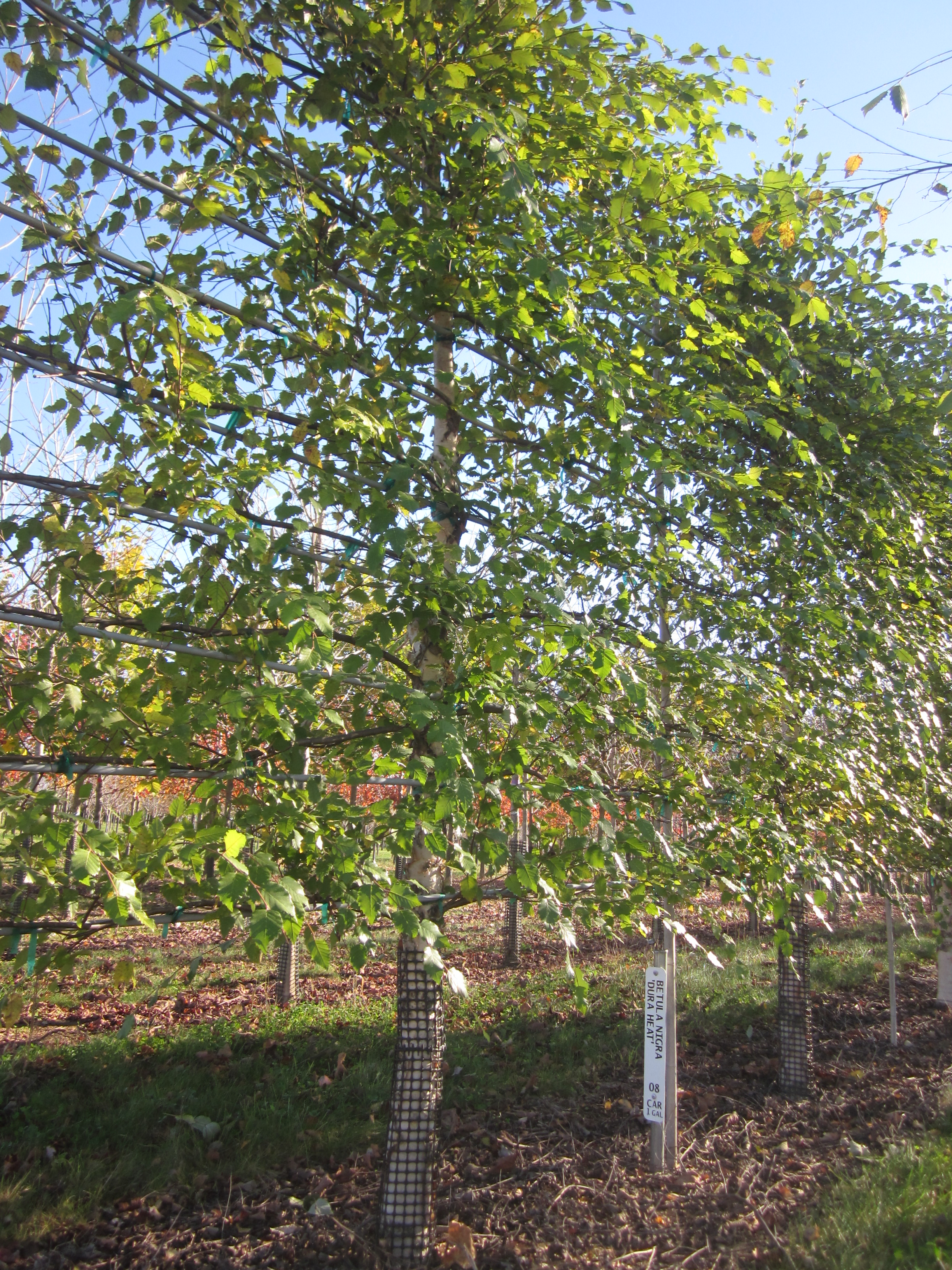 The nursery is experimenting with training different species, like these river birches, into espalier.