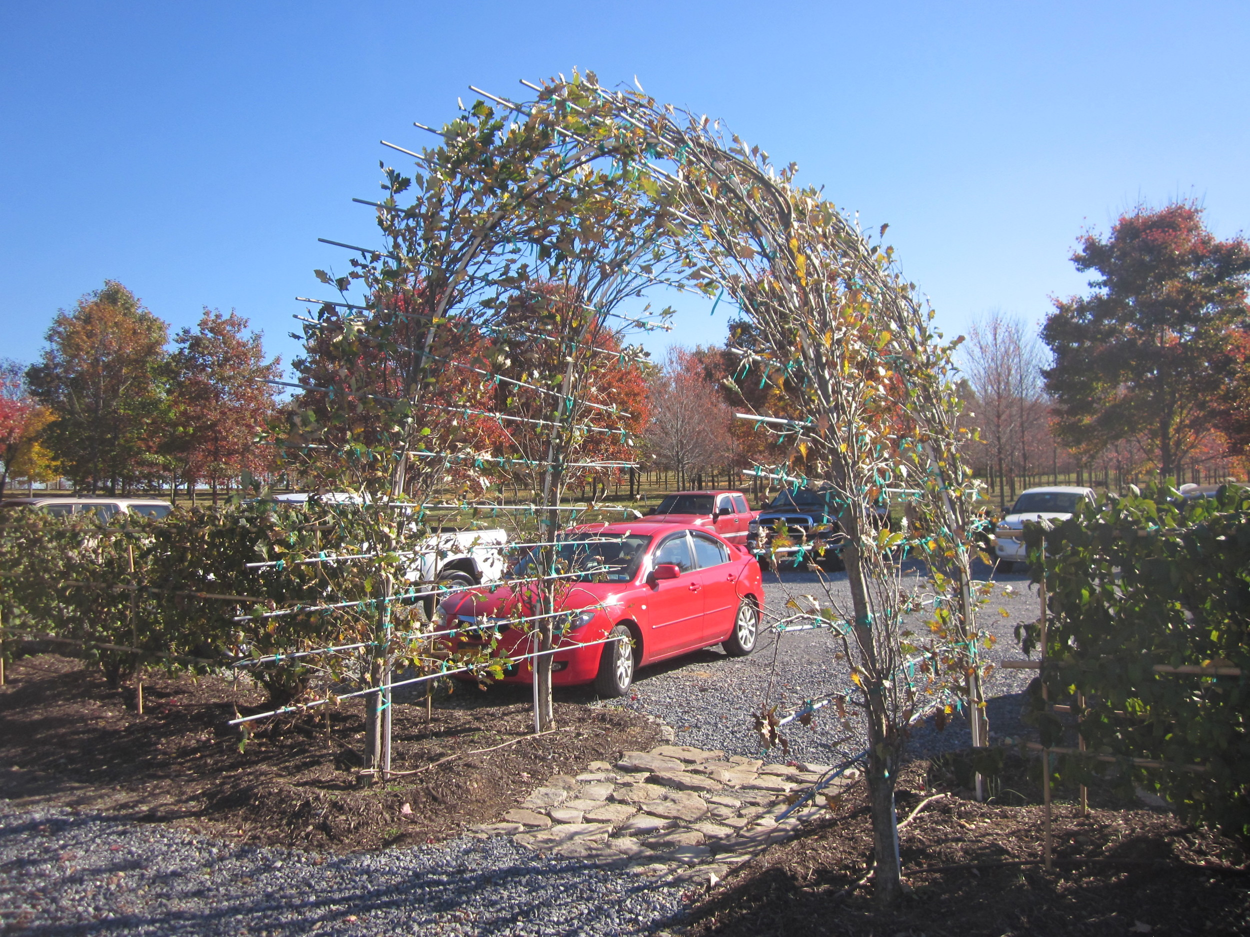 Regal Prince oaks trained into an arch at the parking area.