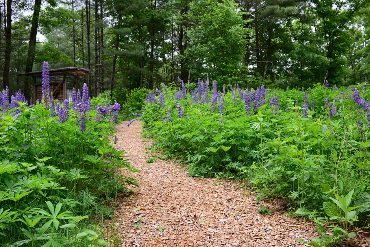 Summer-Star-Wildlife-Sanctuary_KMDG_lupine-meadow_DKM_7647.jpg