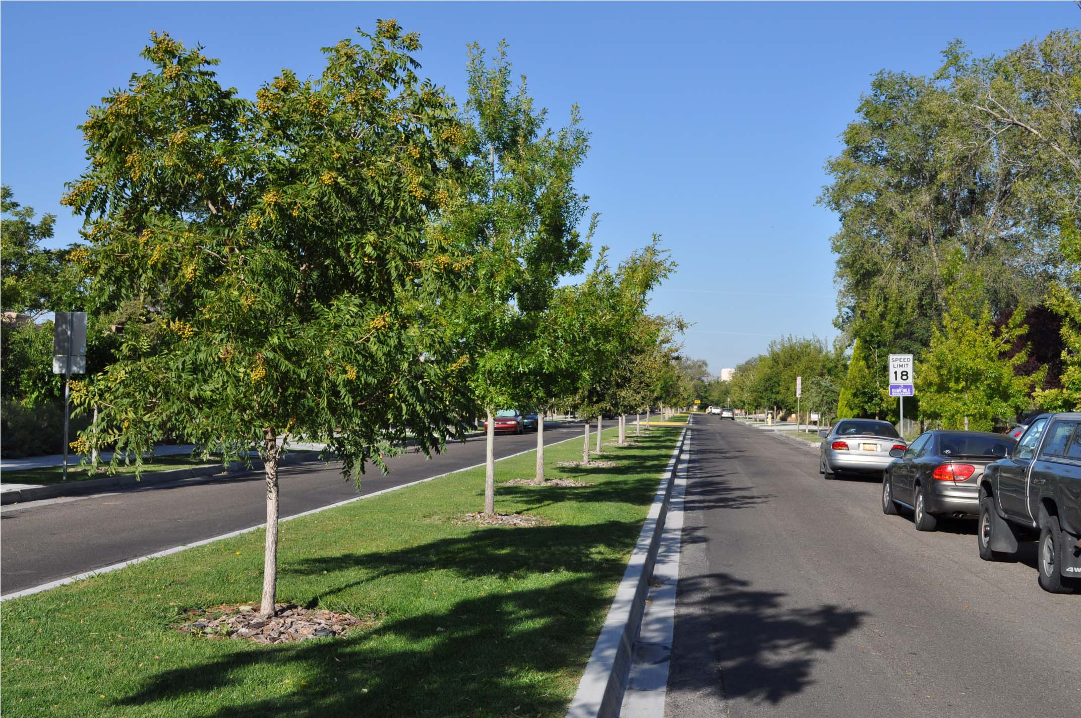 Newly planted parkway trees to continue the historic palette into the future