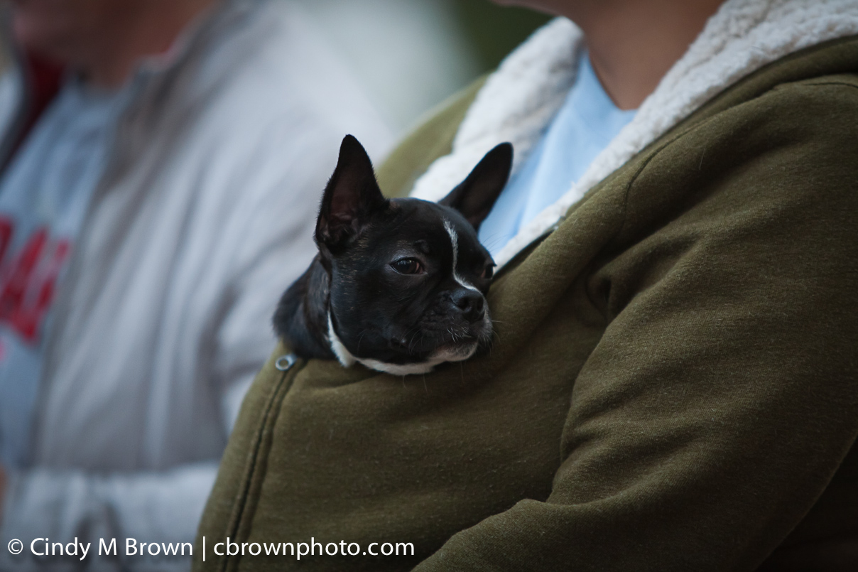 Olivia the Boston Terrier