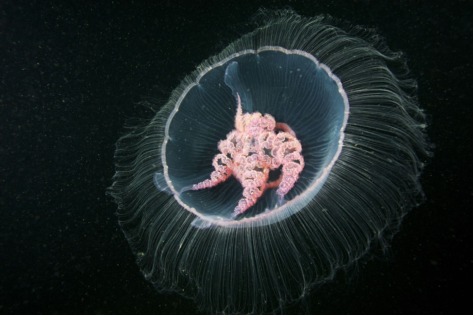 alexander-semenov-aurelia-aurita-5.jpg