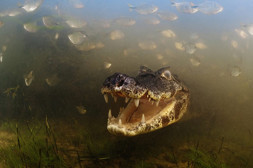 Winner:   Into the mouth of the caiman -Luciano Candisani (Brazil)
