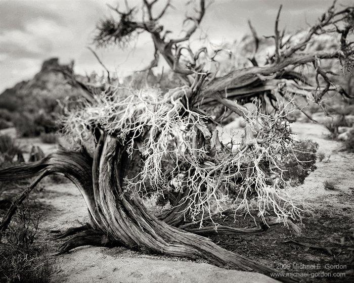 Juniper Study, Joshua Tree National Park, California ©Michael E. Gordon