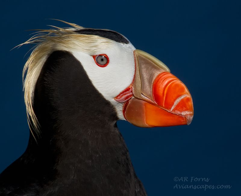 alfred-forns_tufted-puffin.jpg