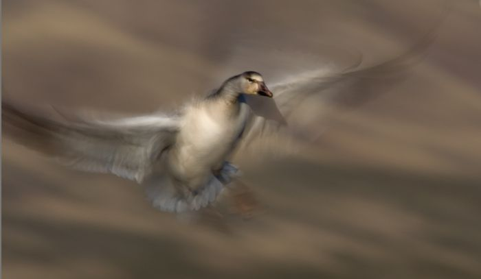 alfred-forns_bosque-goose.jpg