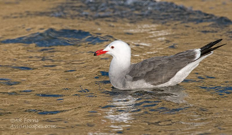 alfred-forns_gull-color-cliff.jpg