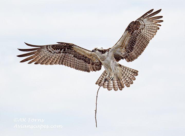 alfred-forns_osprey-female.jpg