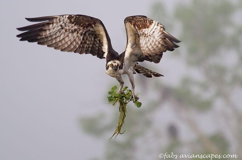 fabiola-forns_osprey-water-hyacint.jpg
