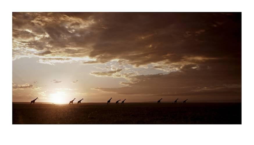 giraffa-carmelopardalis_sunset-meander-by-klaus-tiedge.jpg