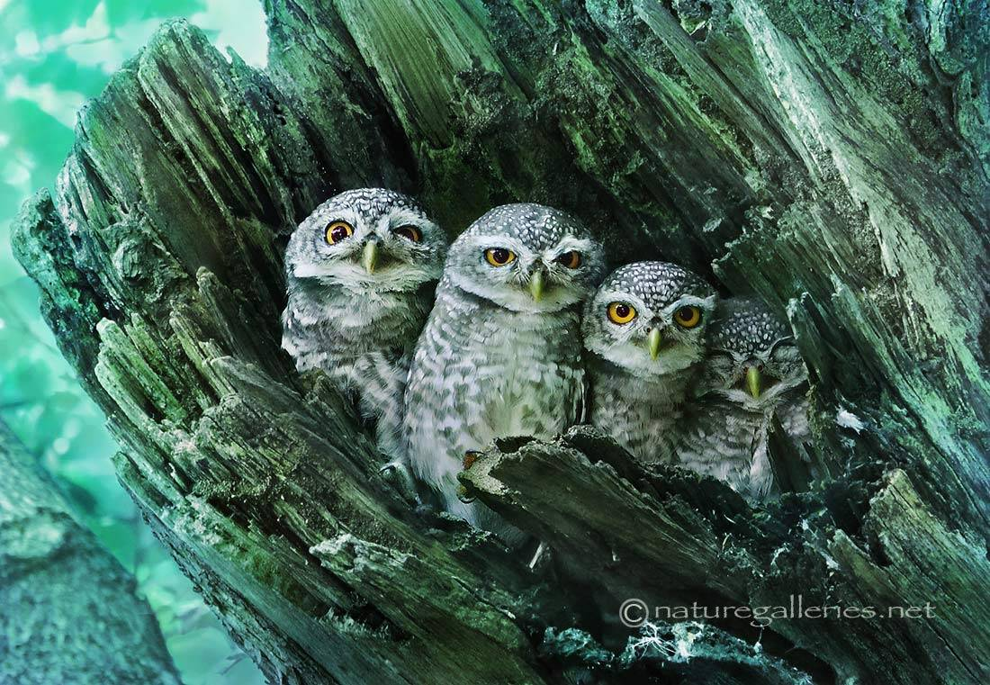 sompob-sasi-smit_spotted-owlet-family.jpg