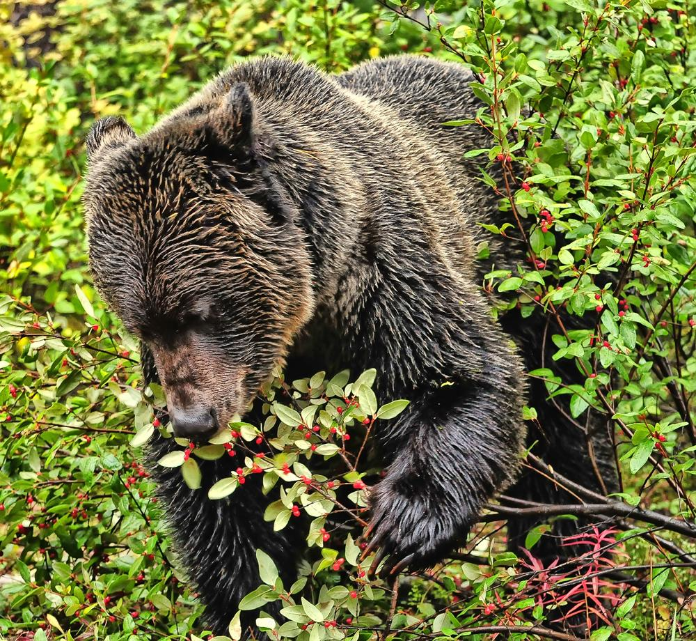 berries-for-the-grizzly-by-jeff-clow.jpg
