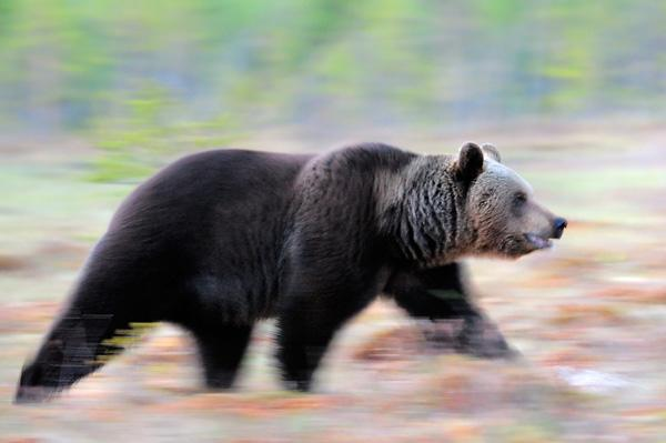 werner-bollmann-brown_bear.jpg
