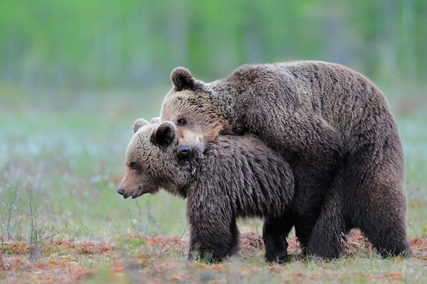 werner-bollmann-brown_bears.jpg