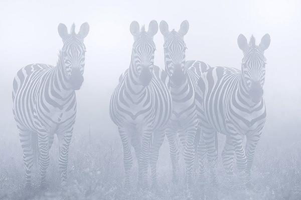 werner-bollmann-common_zebras.jpg