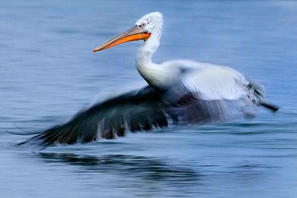 werner-bollmann-dalmatian_pelican.jpg