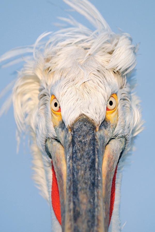 werner-bollmann-dalmatian_pelican_portrait.jpg