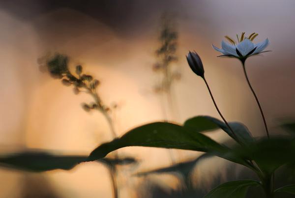 werner-bollmann-starflower.jpg