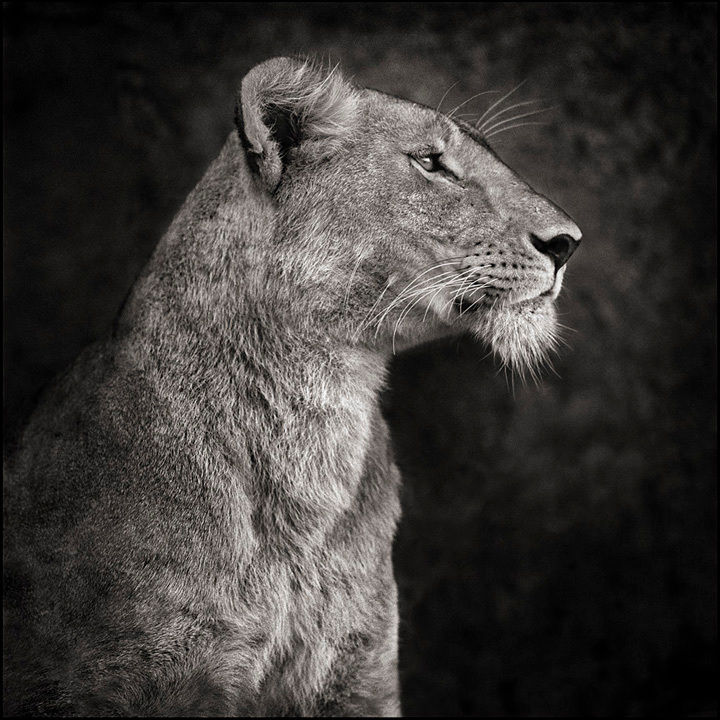 Portrait of Lioness Against Rock, Serengeti, 2007