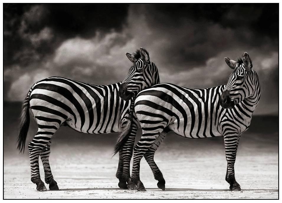 Zebras   Turning Heads, Ngorongoro Crater 2005