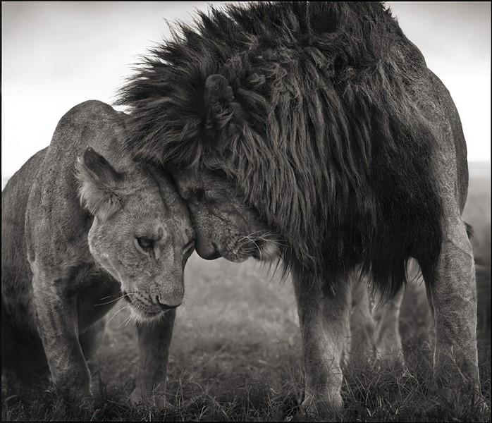 Lions Head to Head, Masai Mara 2008