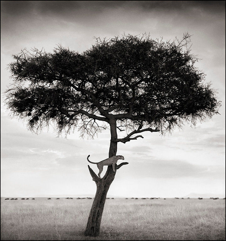 Cheetah in Tree, Masai Mara, 2003